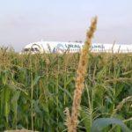 Чудо на кукурузном поле