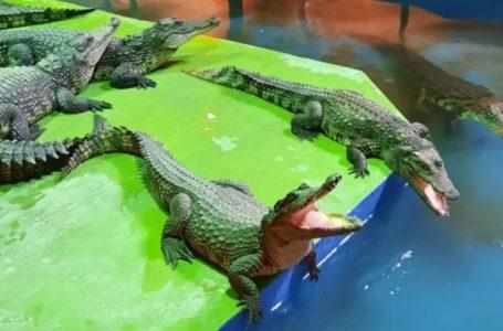 К крокодилу в гости